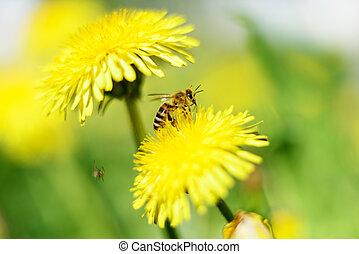 Honeybee and yellow flowers - Honeybee and yellow flowers on...