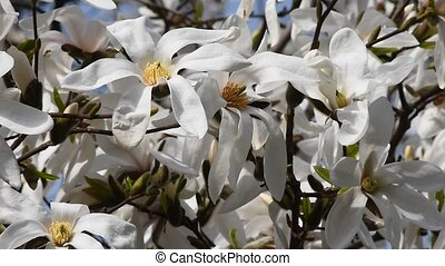 White magnolia flowers in the wind, close up - Splendid...