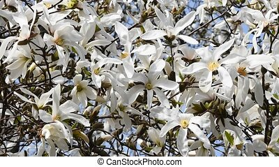 White magnolia flowers high over blue sky - Splendid blossom...