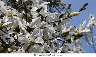 White magnolia flowers tremble in the wind - White magnolia...