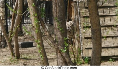 Large white tiger in zoo - The white tiger is climbing on...