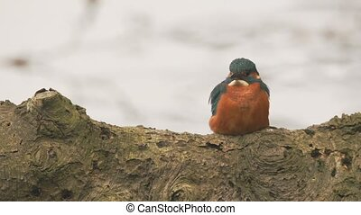 Kingfisher in springtime