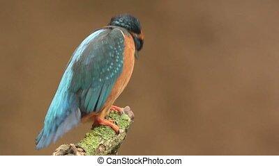 Kingfisher in springtime