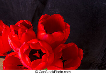 bouquet of red tulips on a black background