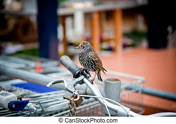 varied starling seated on a bicycle handle bar. supermarket...