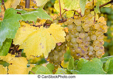ripe riesling grapes on vine - close-up of ripe riesling...