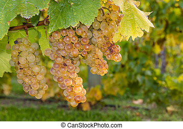 ripe riesling grapevine and leaves - closeup of ripe...