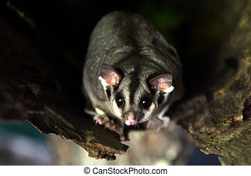 Sugar glider live inside a tree log - Sugar glider