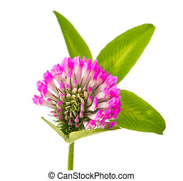 clover flowers isolated