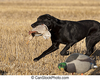 Black Lab Hunting Dog - A Black Labrador Retriever with a...