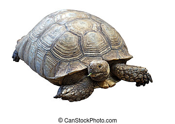 african spurred tortoise or geochelone sulcata isolated on...