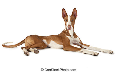 One year old Podenco ibicenco dog isolated on white - One...