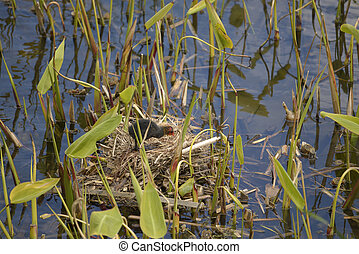 Young Eurasian Coot in nest - Young Eurasian Coot Fulica...