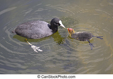 Eurasian Coot and young - Closeup Eurasian Coot (Fulica...