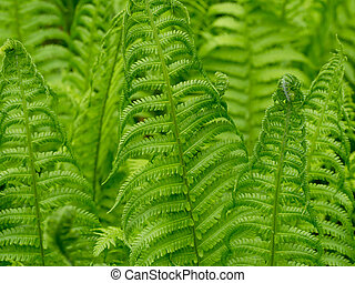 Ferns - New ferns in spring