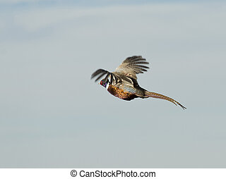 vuelo, gallo, faisán,