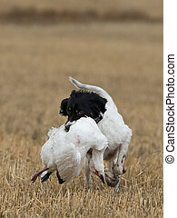 Hunting Dog with a Snow goose