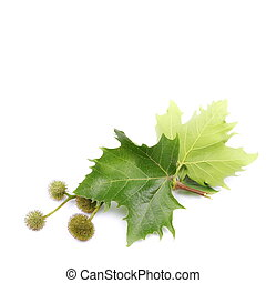 sycamore leaves and flowers - Plane tree, sycamore leaves...