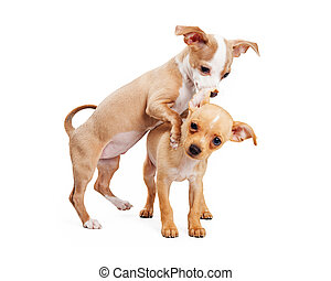 Two puppies playing on white background - Two playful...