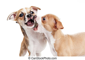 Two Puppy Dogs Play Fighting - Two young Chihuahua...