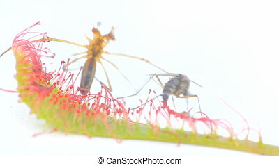 Carnivorous plants . Sundew grabbed mosquito with sticky...