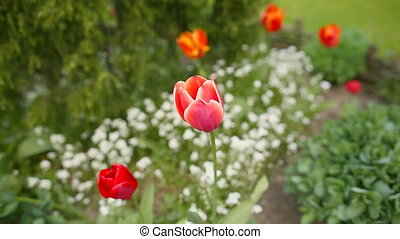 Red tulips in early morning.