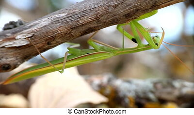 Carnivore. Predatory insect mantis cleans his terrible...