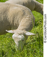 grazing sheep at spring time