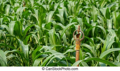Corn field and irrigation sprinkler - Corn field with rusty...