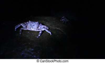 Marble crabs on coast at night - Many marble crabs running...