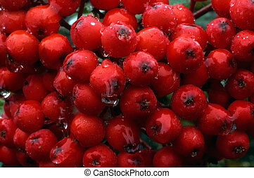rowanberry - Plenty of rowanberry closed-up with water drops