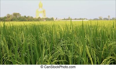 rice - Rice field with Big Buddha statue background