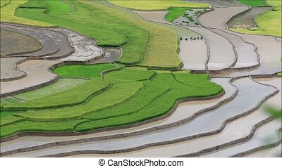 rice - Terraced rice field in water season in Mu Cang Chai,...