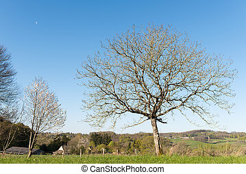 Chestnut tree in landscape - Chestnut tree in spring in...