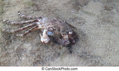 Shrimp eat dead crab - stone shrimp eat dead marble crab
