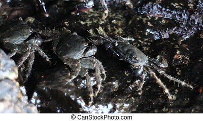 Crabs climbed on rocky shore and stood on water's edge....