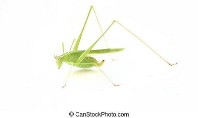 Long-legged green old pregnant grasshopper - Green...
