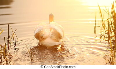 Swan swimming t the lake in the golden evening light on the...