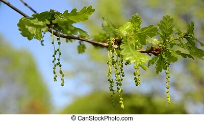 Flowering common oak or pedunculate - Quercus robur -...