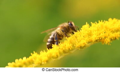 Hard-working bee collects nectar from yellow flowers - Bee...