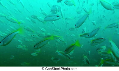Big pack of tropical fishes over a coral reef ,