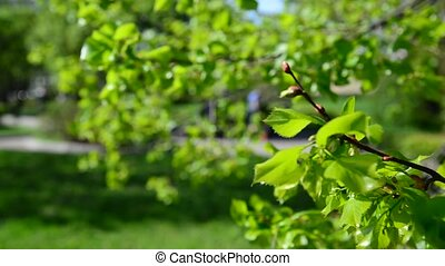 Bright lush leaves on trees in May - Bright lush leaves on...