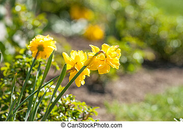 Daffodils in a home garden