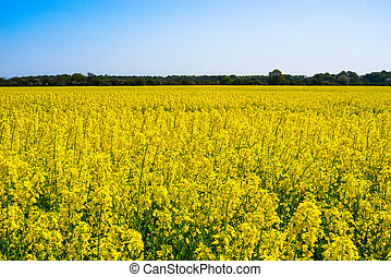 Colorful yellow rapeseed field