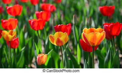 Many varietal red and orange tulips on flowerbed - Many...