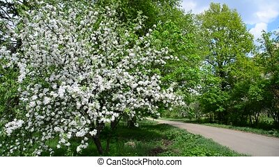 Spring park with blooming apple tree