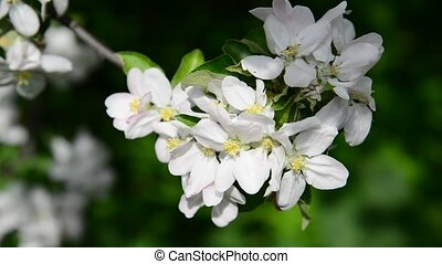 Large apple flowers on branch in spring
