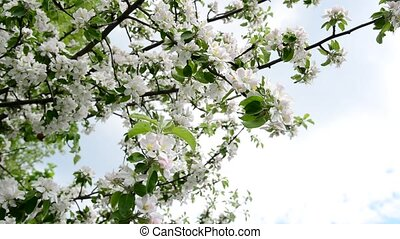 Flowering branches of apple trees against sky - Flowering...