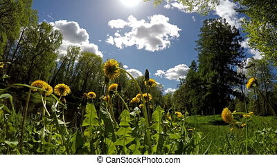 glade of dandelions in a sunny day