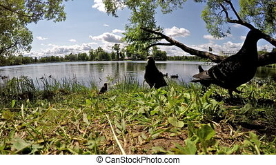 pigeons and ducks eat bread on the bank of the lake